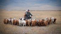 Livestock farming in Mongolia.
