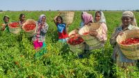 Indian spice company Akay engages directly with farmers and buyers, opening up income opportunities for poor farmers.