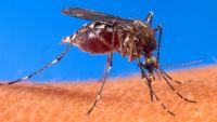 Aedes aegypti mosquito. Photo by US Department of Agriculture.